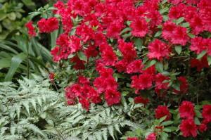 Athyrium (Lady Fern, Japanese Painted Fern) and Azalea 'Redwing'