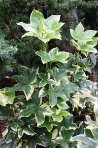 xFatshedera lizei 'Angyo Star' (Angyo Star Tree Ivy)