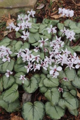 Cyclamen coum silver leaves