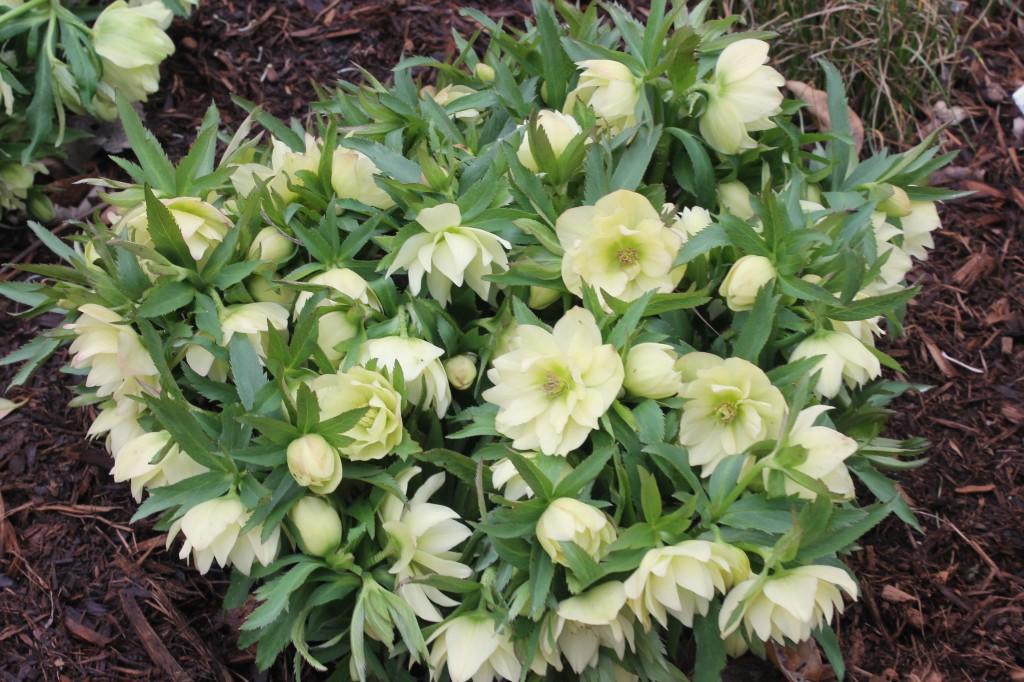 Helleborus x hybridus PDN160C.3 Golden Lotus