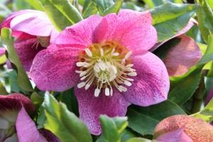 Helleborus x hybridus pink spotted