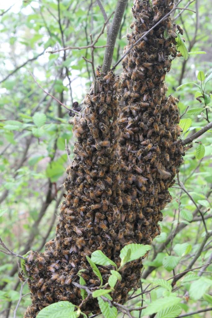 Bee swarm1