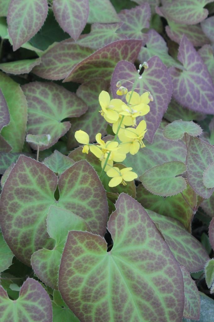 Epimedium x perralchicum Frohnleiten in flower closeup