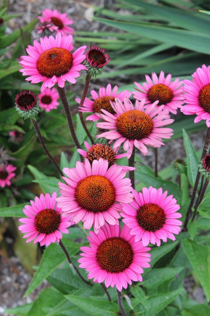 Echinacea Fatal Attraction11