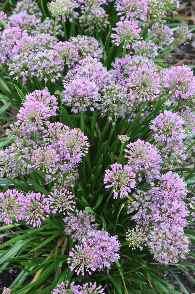 Allium Millenium2
