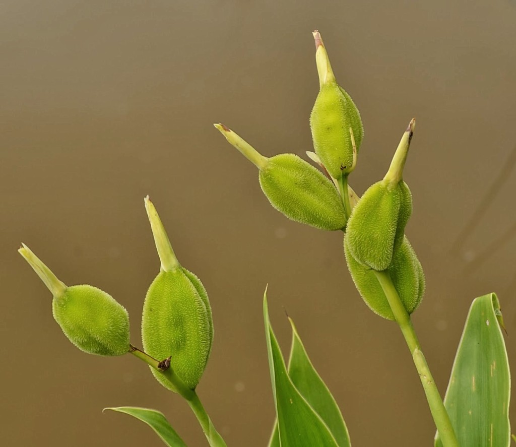 Canna flaccida seed pods