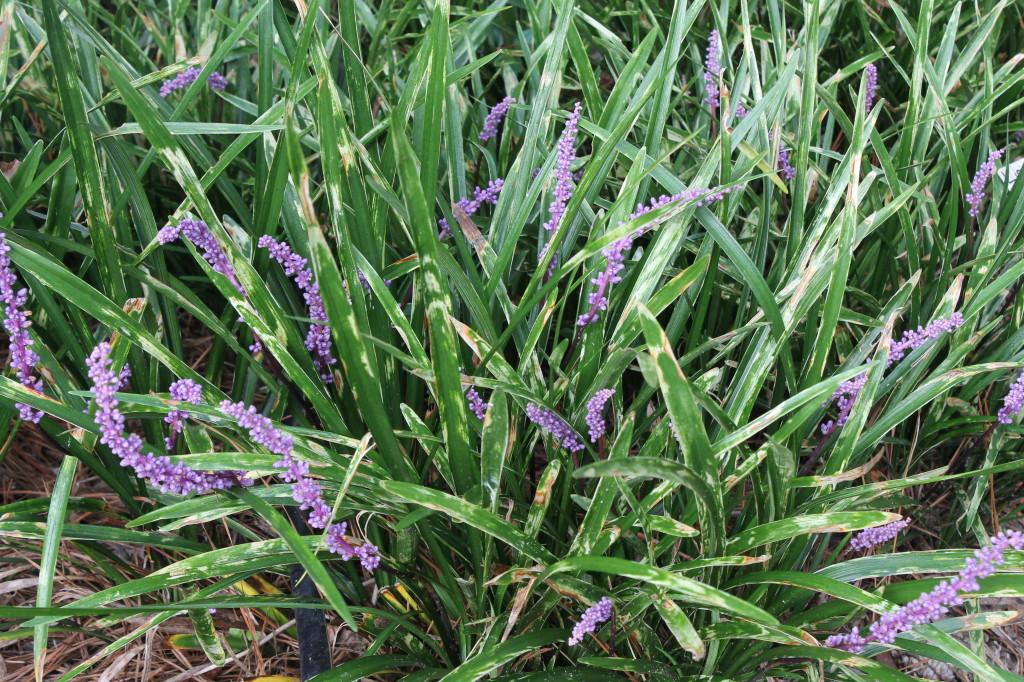 Liriope muscari Sideswiped in flower7