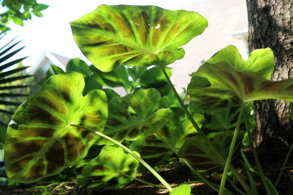 Remusatia vivipara A1VT-031A leaf back2