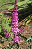 Buddleia 'Pink Micro Chip' PPAF