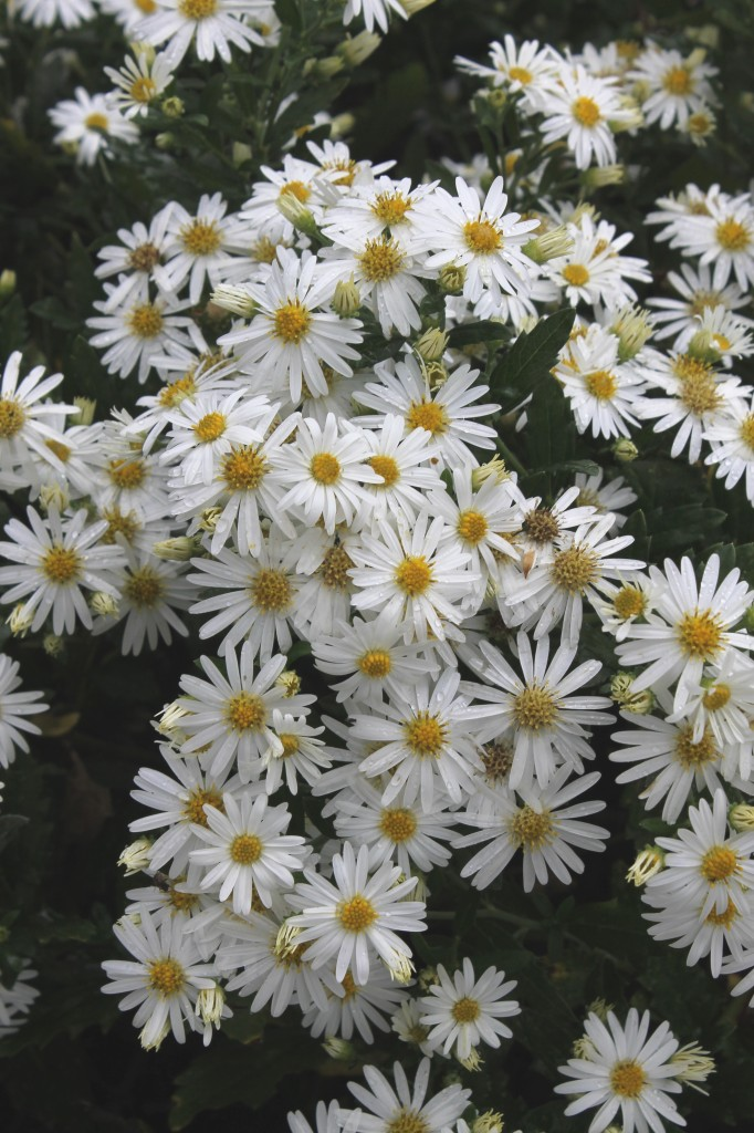Aster ageratoides Ashiva flowers closeup