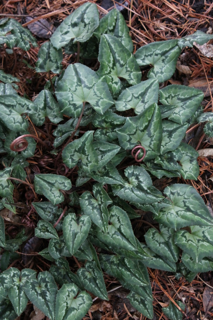 Cyclamen hederifolium Hansen's Fancy Leaves foliage