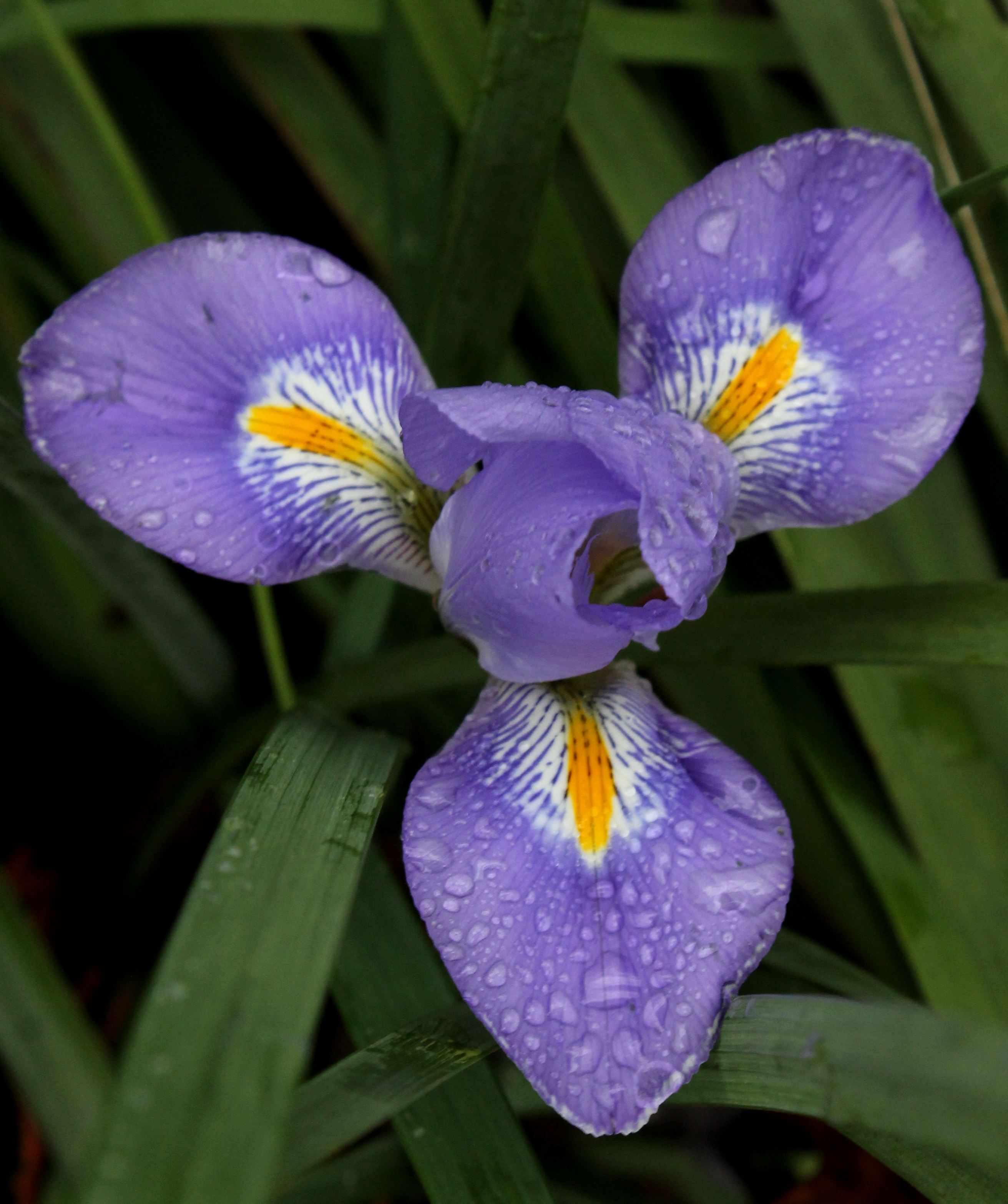 iris unguicularis in flower in winter