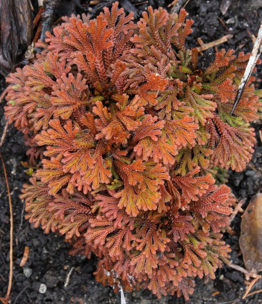 Selaginella tamariscina Golden Sprite in winter
