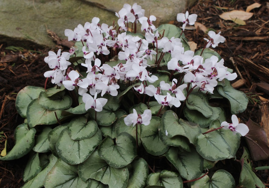 Cyclamen coum PDn009 silver center white flowers