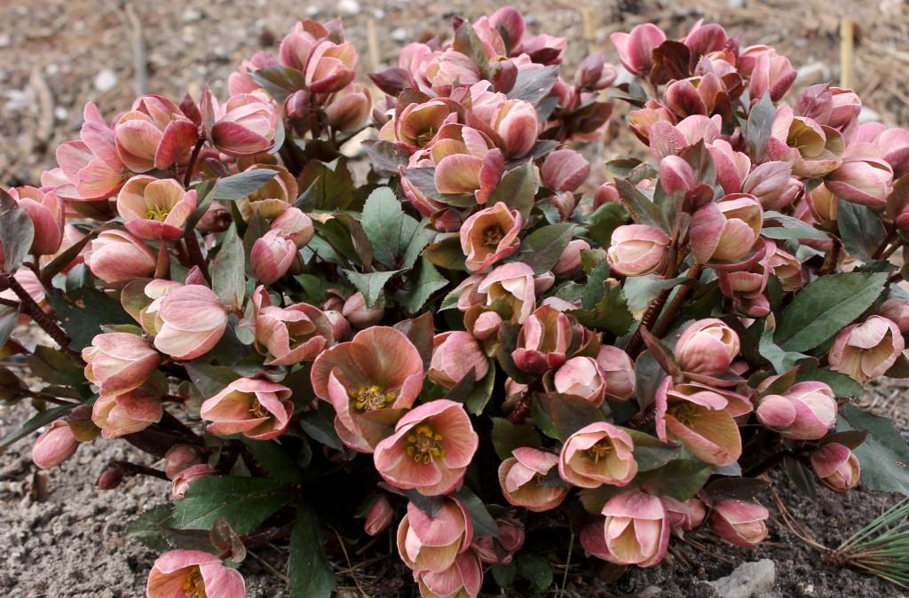 Helleborus x ballardiae HGC Pink Frost clump in full flower