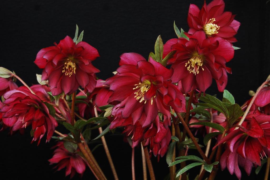 Helleborus x hybridus Red Sapphire (E OByrne)