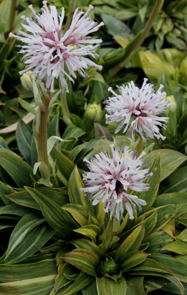 Heloniopsis orientalis Flash Dance in flower