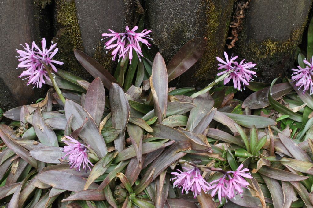 Heloniopsis orientalis Purple Sprite in flower