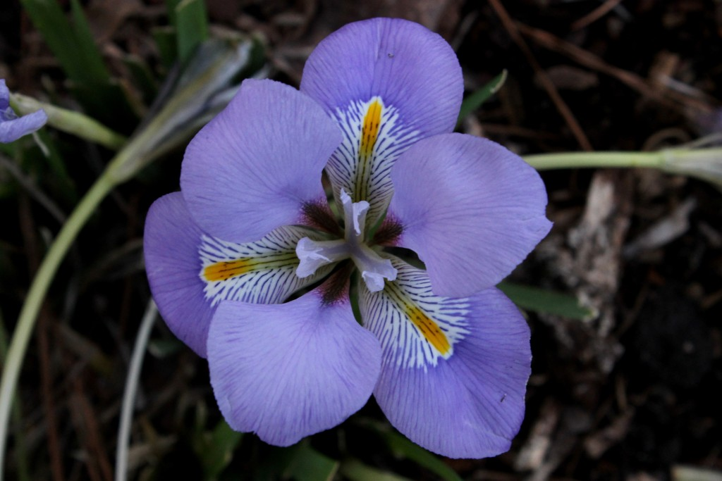 Iris unguicularis Mary Bernard flower