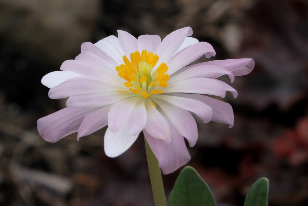 Sanguinara canadensis Plant Delights Pink