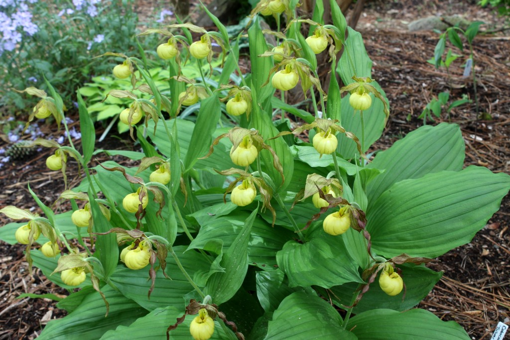 Cypripedium Hank Small4