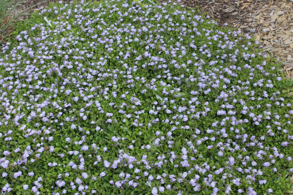 Mazus reptans patch in flower