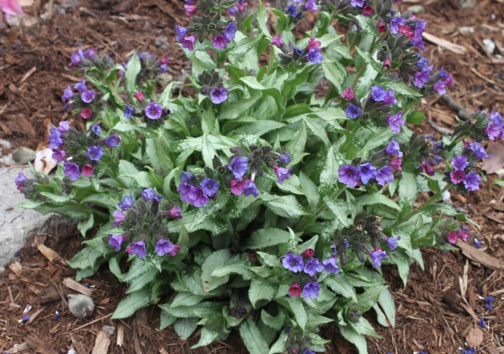 Pulmonaria diana clare 39 for Garden plants