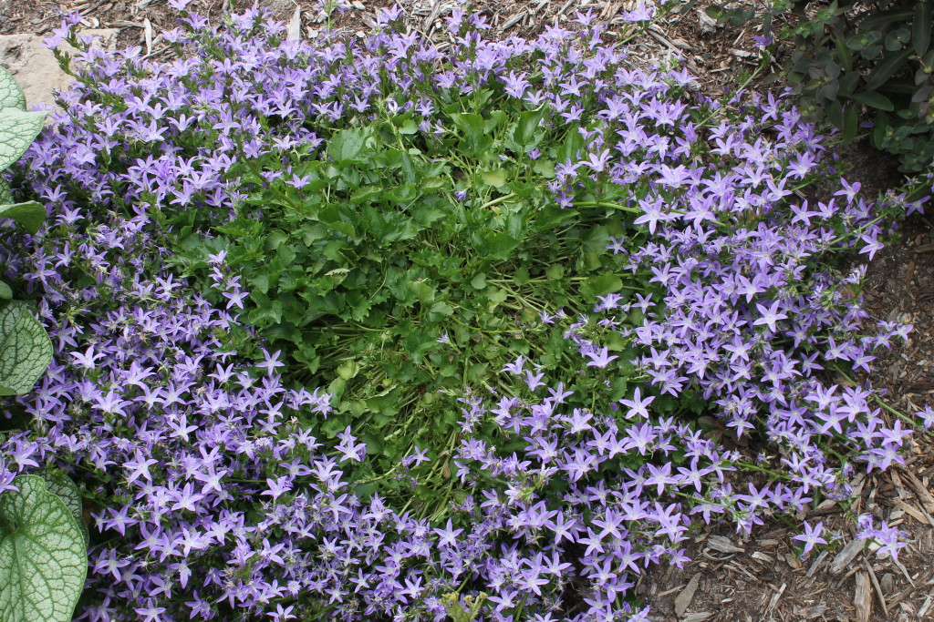 Campanula porscharkyana Camgood clump in flower