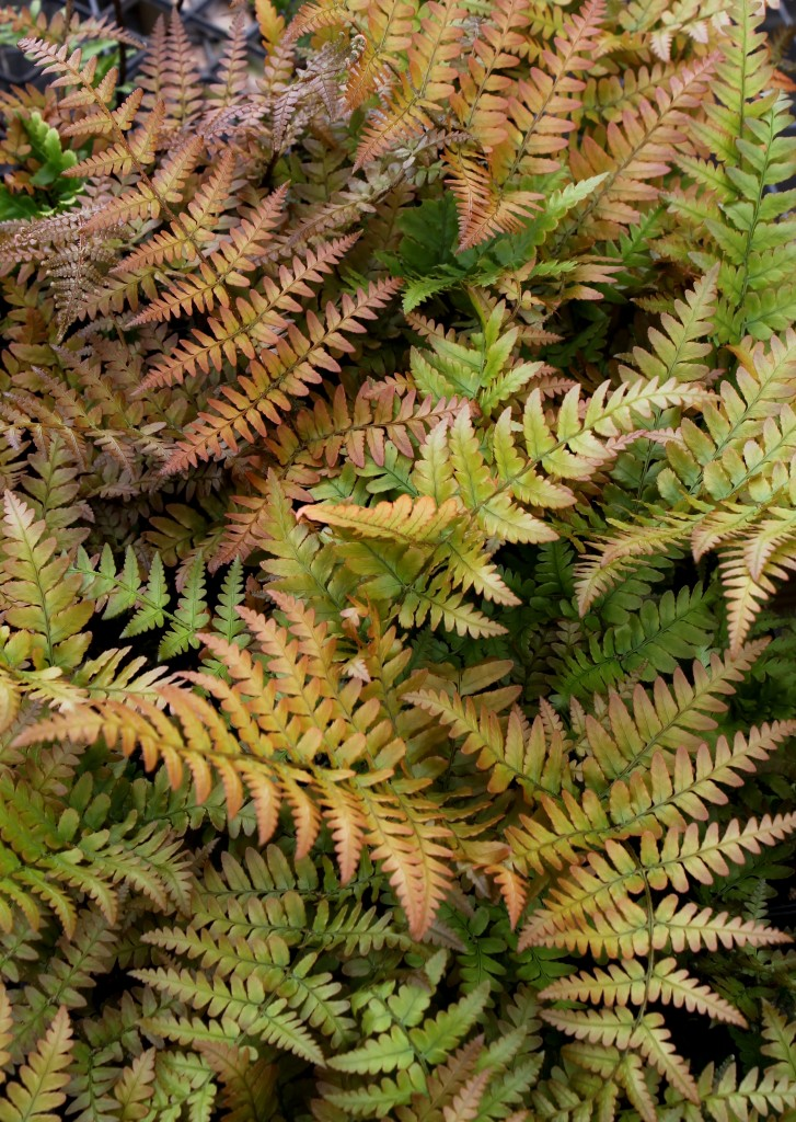 Dryopteris erythrosora Brilliance