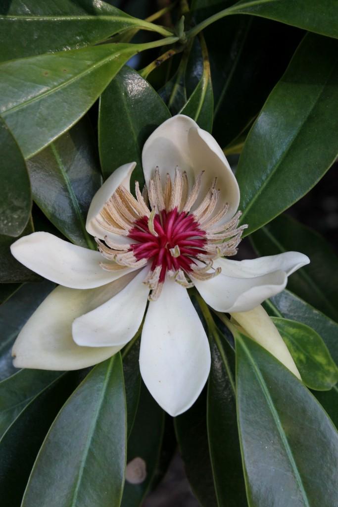 Parakmeria lotungensis flower