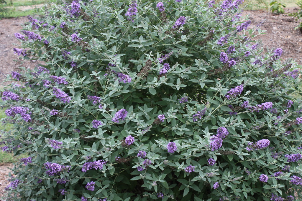 Butterfly Bush Buddleia Blue Heaven Plant Delights