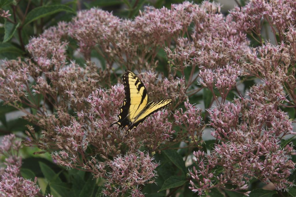Eupataorium dubium Little Joe with yellow swallowtail