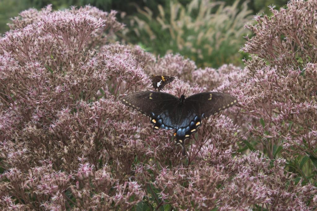 Eupatorium dubium with pipevine swallowtail