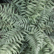 Athyrium 'Branford Beauty'