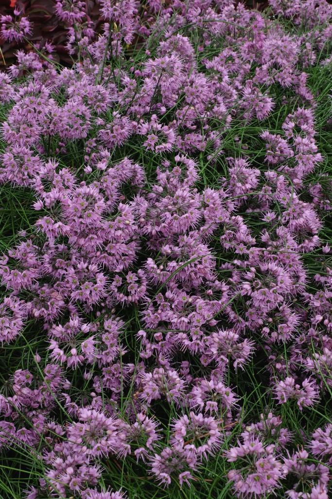 Allium kiiense2