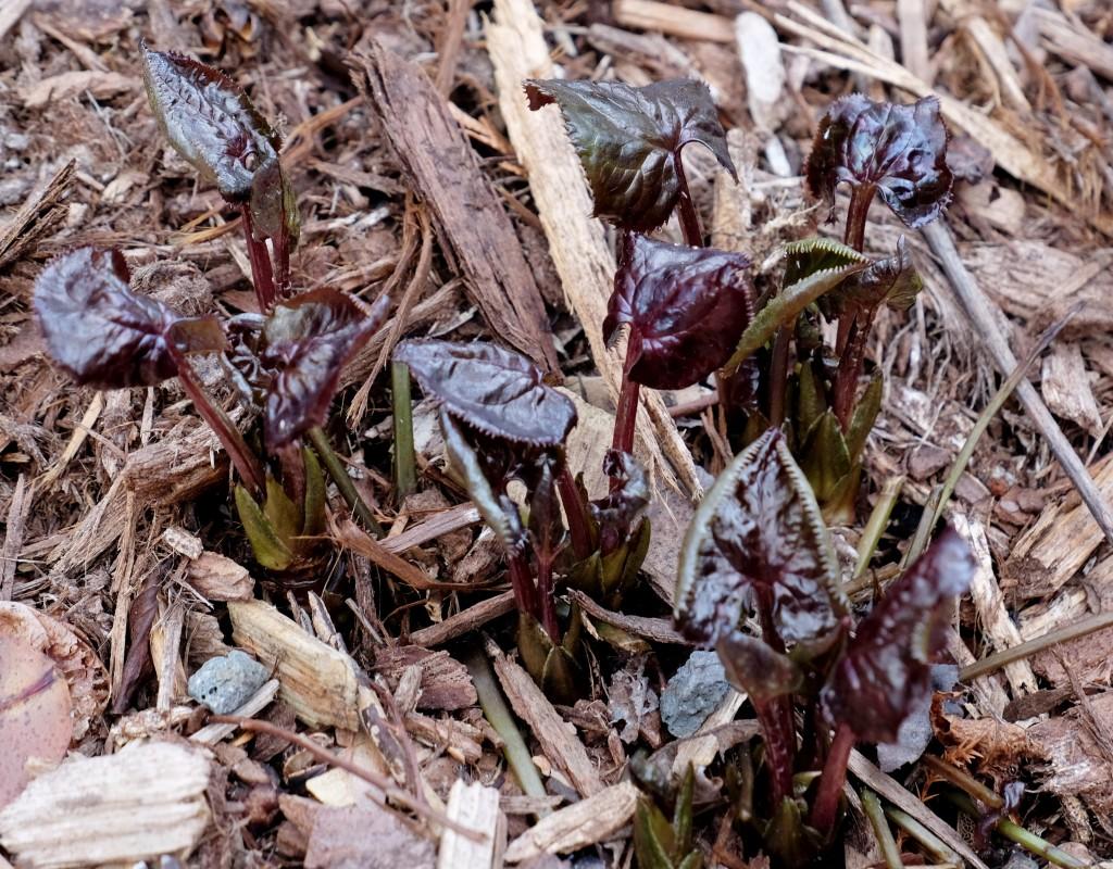Beesia calthafolia emerging2