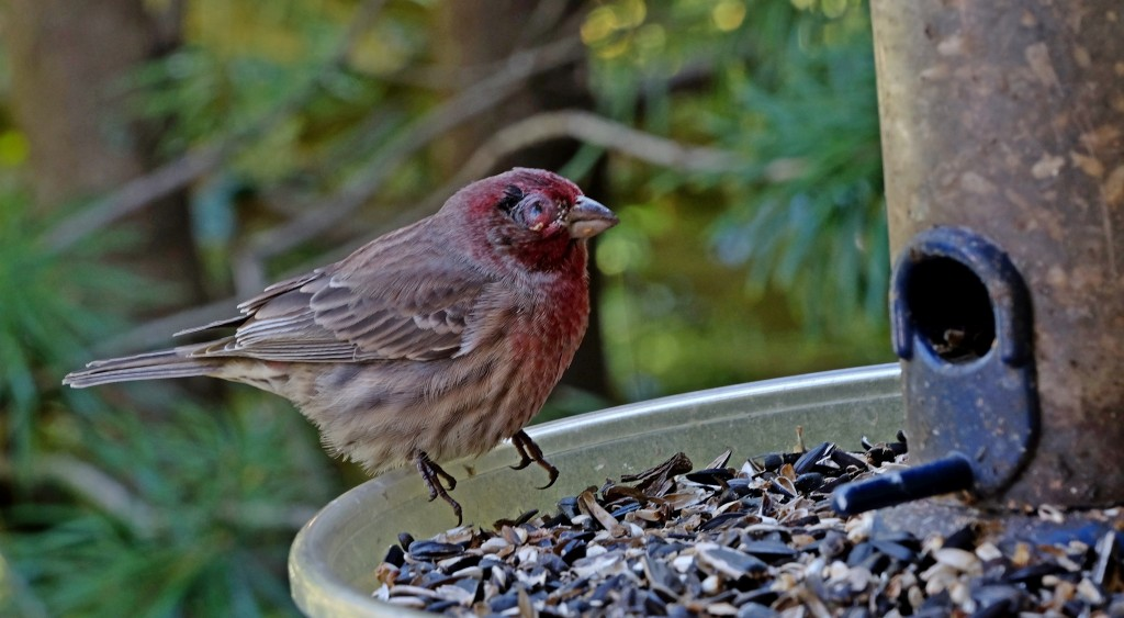 Blind house finch at feeder
