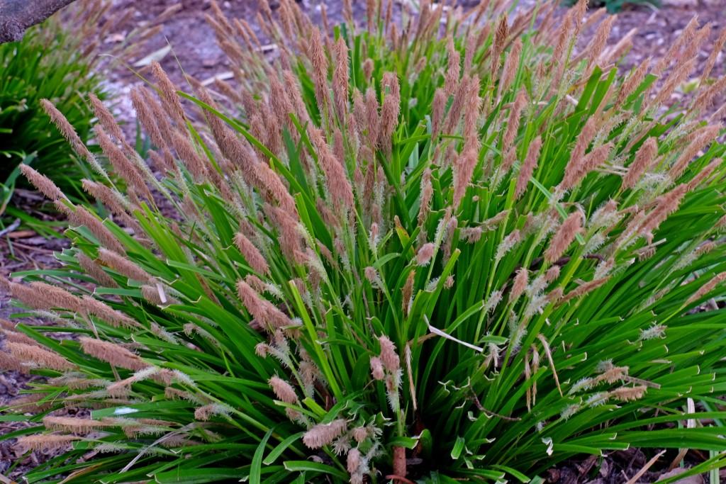 Carex oshimensis Everillo in flower