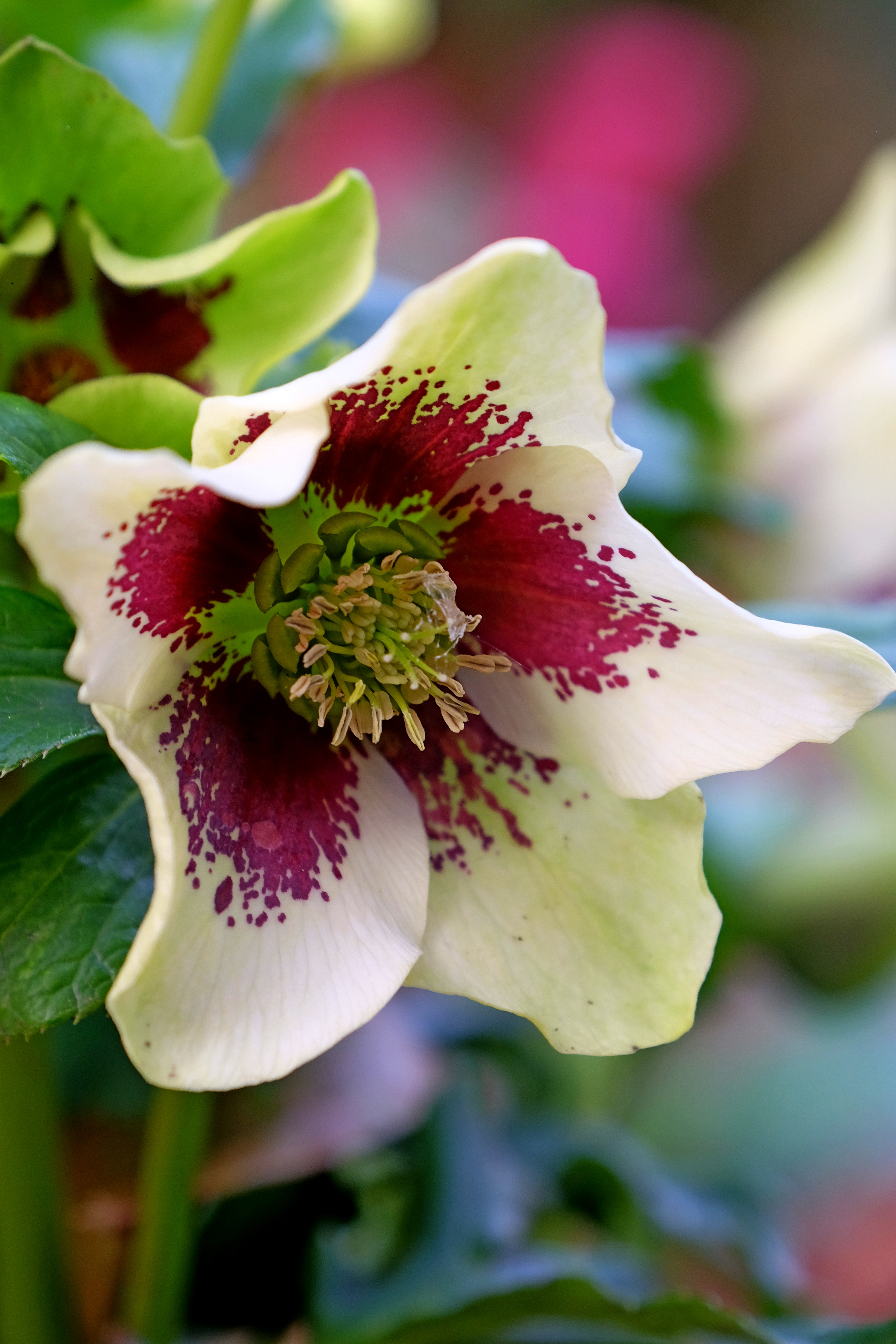 hellebores in flower
