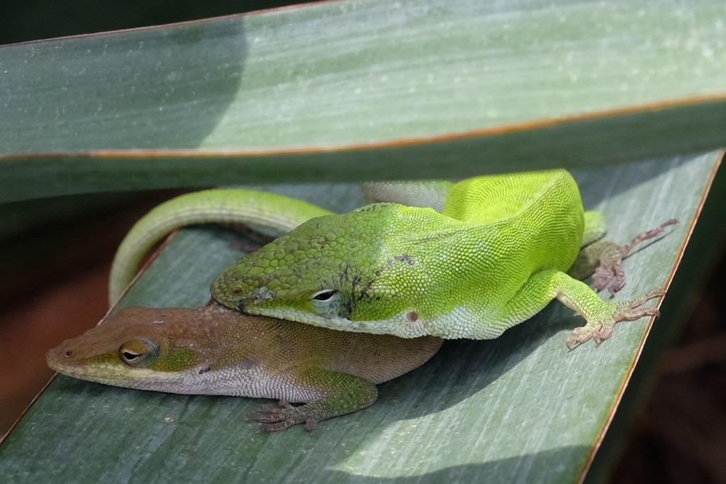 Anole love