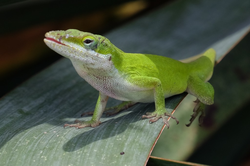 Anole on yucca leaf