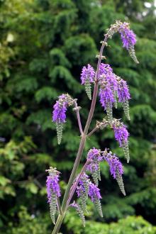 Salvia nutans
