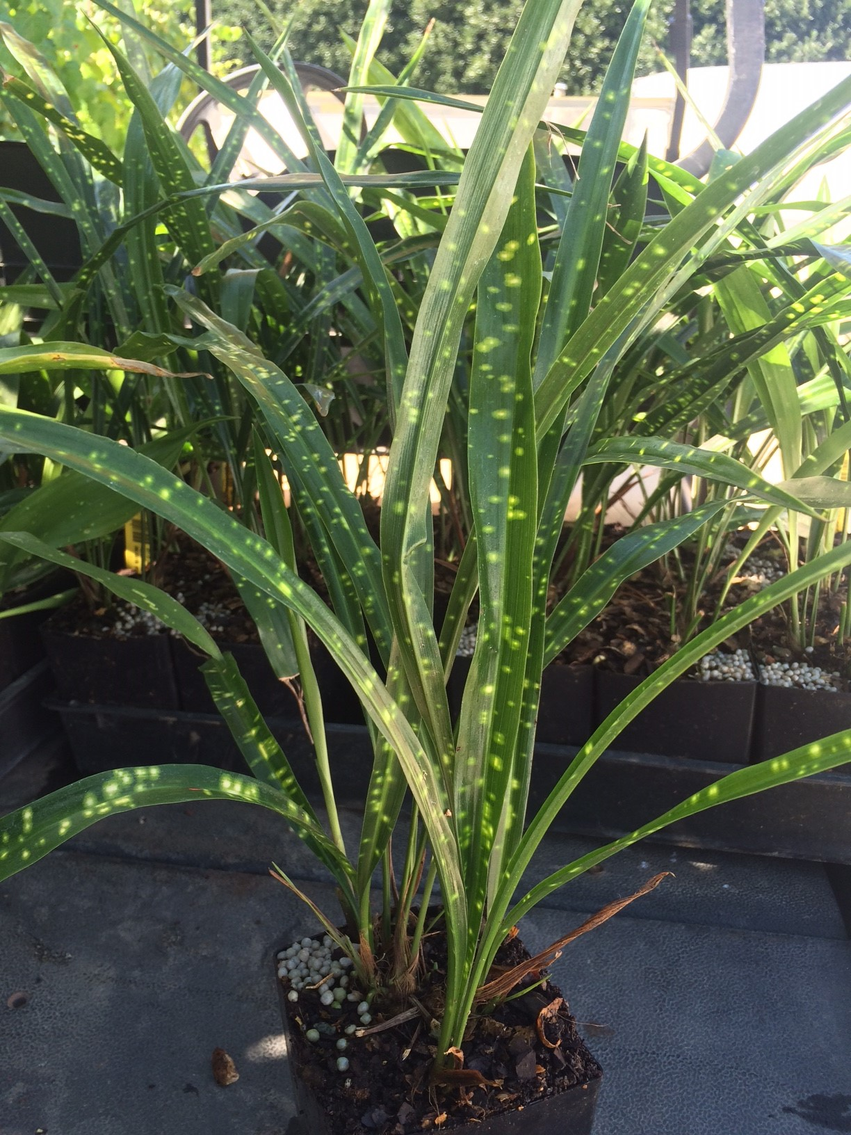 picture of aspidistra leopard added to our sales house today