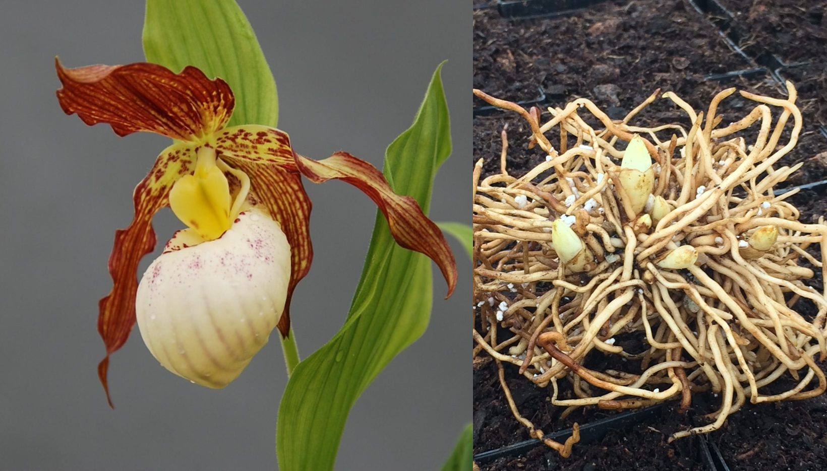 picture of cypripedium gabriela and healthy bare root liners