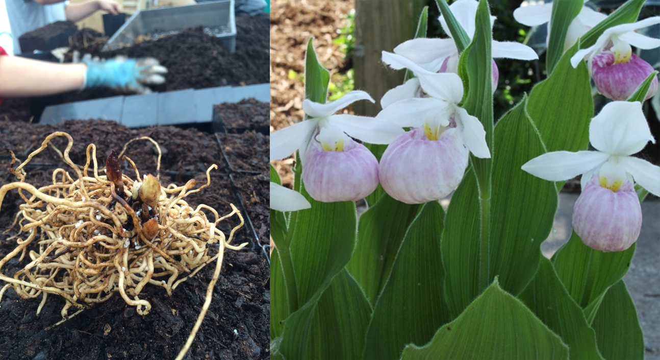 picture of cypripedium reginae and healthy bare root liners.