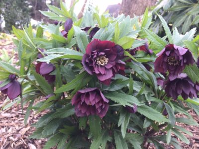 Hellebores are looking amazing in the garden.